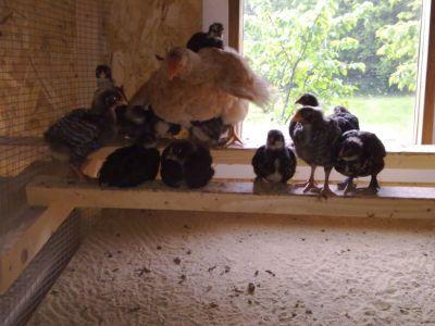 hønemor forlader æg