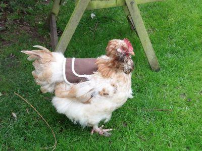 Kyllinger sammen med høns