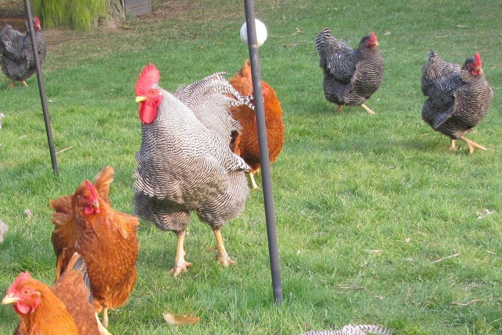 plymouth rock høns